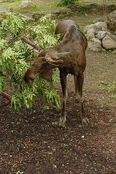 Elk Stockholm, Skansen, Sweden, Museum, Open Air Museum