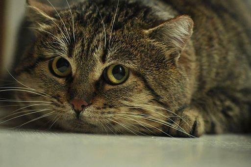 Cat, Fear, Eyes, Dangerous, Measurement, Head, Striped