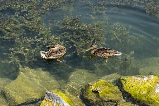 Duck, Ducks, Wild Ducks, Teal, Female, Chick, Bird