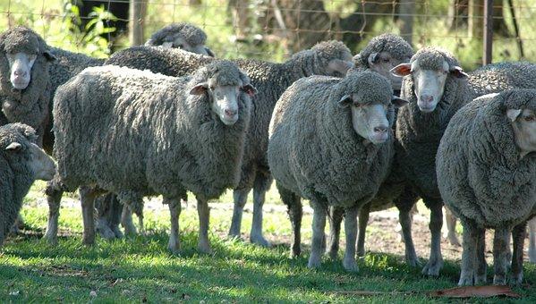 Sheep, Herd, Livestock, Flock, Wool