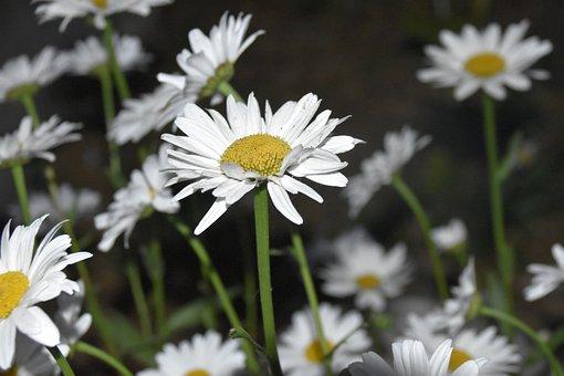 Marguerite, White Petals, Flora, Garden, Plants, Botany