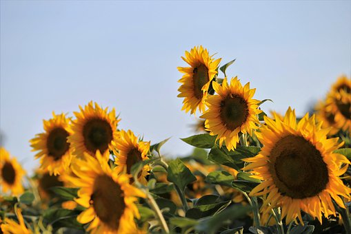 Agriculture, Sunflowers, Bloom, Flower