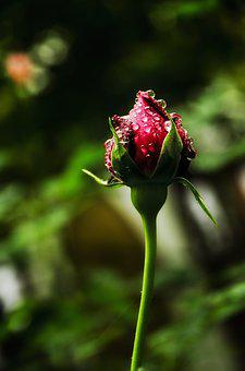 Rose, Rosebud, Nature, Flower, White, Bloom, Spring