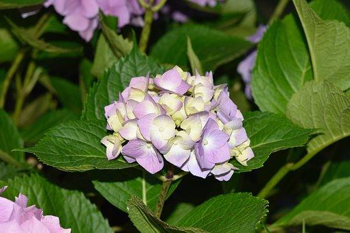 Flower, Flower Hydrangea, Plant, Green Leaves
