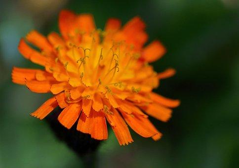 Pilosella Aurantiaca, Fox-and-cubs, Flower, Plant