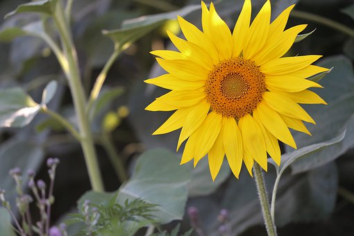 Agriculture, Sunflowers, Bloom, Flower, Plant, Yellow