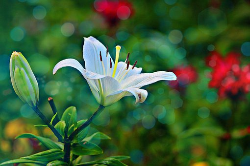 Lilly, Garden, Nature, Bloom, Flower, Lily, Blossom