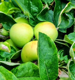 Apple, Apple Tree, Fruit, Healthy, Garden, Tree, Green