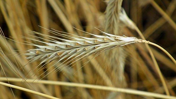 Corn, Ears, Field, Agriculture, Harvest, Village
