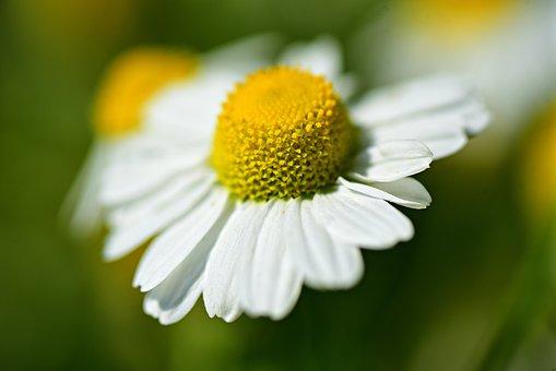 Ox-eye Daisy, Flower, Plant, Petal, Heart, Pistil