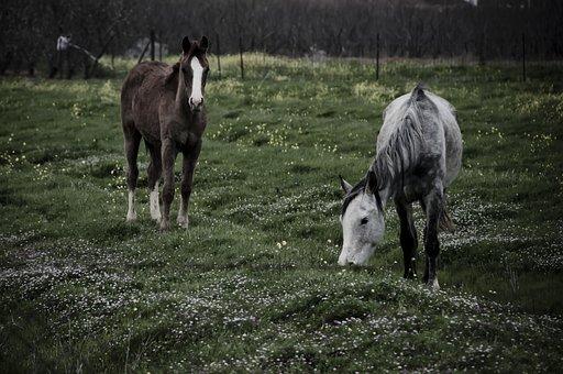 Horses, Grazing, Farm, Pasture, Mammal, Animals, Field