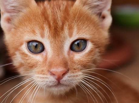 Cat, Red, Small, Kitten, Baby Cat, Face, Cat Face