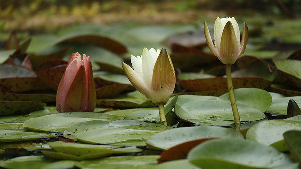 Lilies, Water, Pond, Flower, Lily, Summer, Lake, Plants