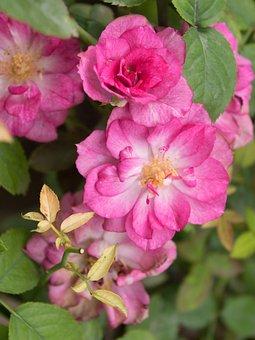 Rose, Roses, Bloom, Blossom, Nature, Romantic, Love