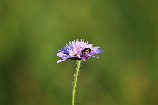 Green Bug On Violet Flower, Macro
