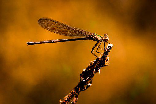 Dragonfly, Insect, Macro, Nature, Dragonflies