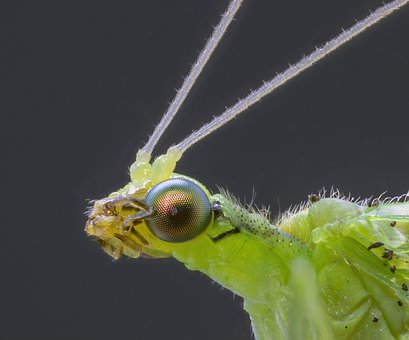 Lacewing, Insect, Eyes, Green, Nature, Garden, Metallic