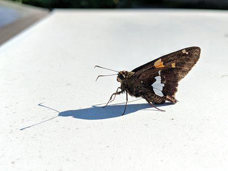 Butterfly, Moth, Summer, Rest, Wings, Brown, Insect