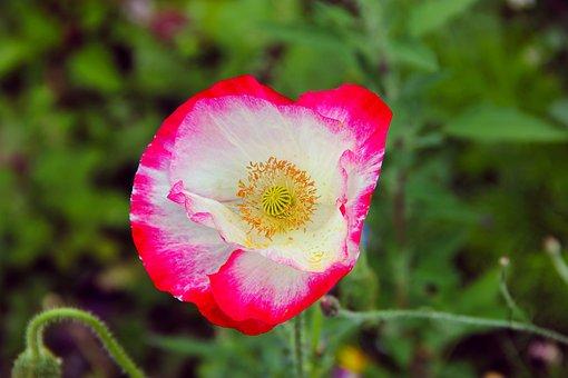 Flower, Wild Flower, Nature, Plant