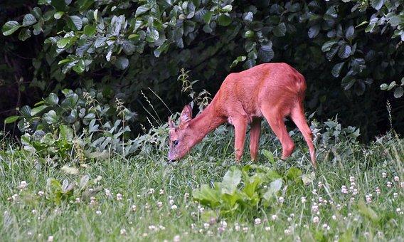 Reebok, Animal, Nature, Wild, Ree, Forest, Horns, Fauna