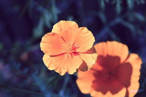 Poppy, Orange, Flower, Bright