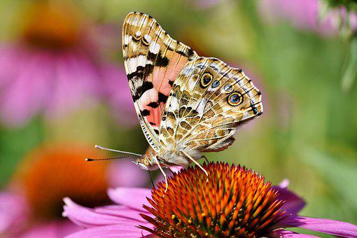Painted Lady Butterfly, Butterfly, Coneflower, Insect