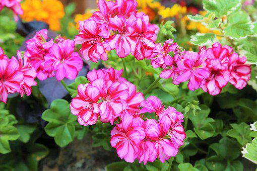 Flowers, Nature, Summer, Plant, Pink, The Leaves Are