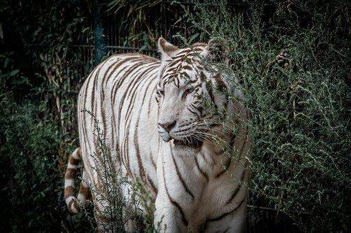 Tiger, White Tiger, Predator, Animal, Cat, Wildcat, Zoo