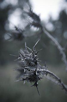 Thorn, Nature, Plant, Gray, Prickly, Flora, Botanical