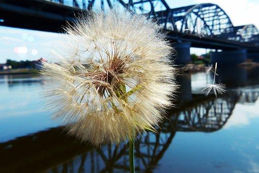 Dandelion, Flower, Landscape, Bridge Lagoon, Reflection
