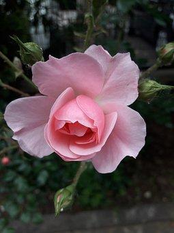 Rosa, Bud, Splendor, Life, Joy