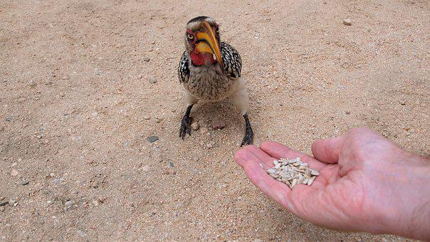 Toko, Yellow-billed Hornbill, Africa, Hornbill, Safari