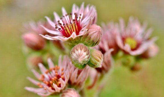 Vetplantjes, Stamens, Petals, Plants, Flora, Flowers