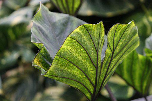 Taro, Colocasia Esculenta, Leaf, Green, Structure