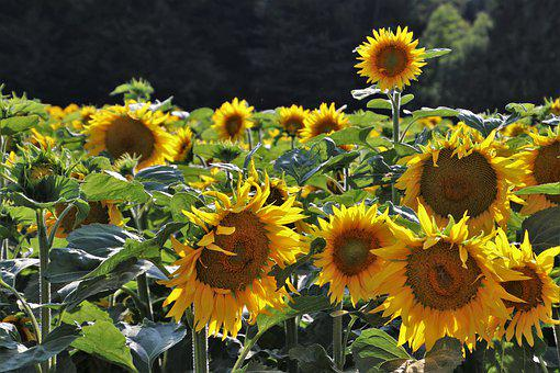 Sunflowers, Yellow, Sunflower, Bloom, Plant