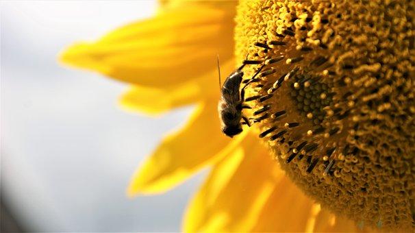 Bee, Sunflower, Pollen, Yellow, Summer, Sunny