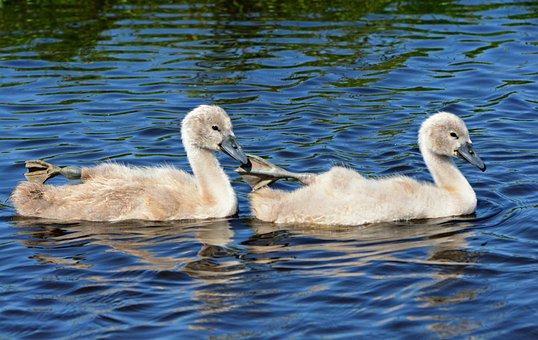 Cygnet, Swan, Water Bird, Animal, Chick, Down, Fluff