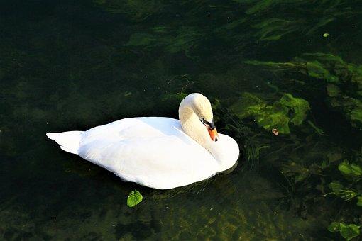 Swan, Bird, Nature, Water, Animal, White, Winged