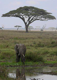 Elephant, Tanzania, Africa, Safari, Serengeti