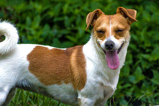 Dog, Jack, Russell, Terrier, Pet, Cute, Animals, Look