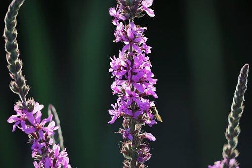 Red Fox Speedwell, Veronica Spicata, Grass, Meadow