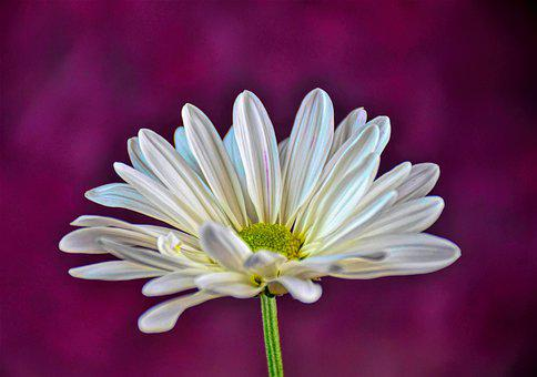 Daisy, Flower, Spring, White, Nature, Floral