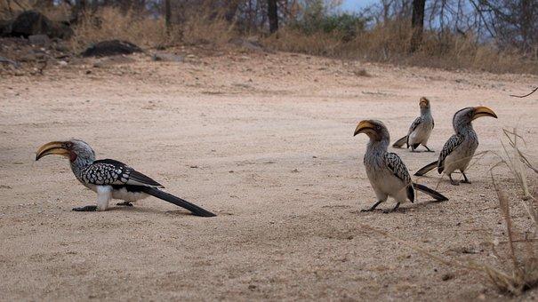 Toko, Yellow-billed Hornbill, Africa, Safari, Bird