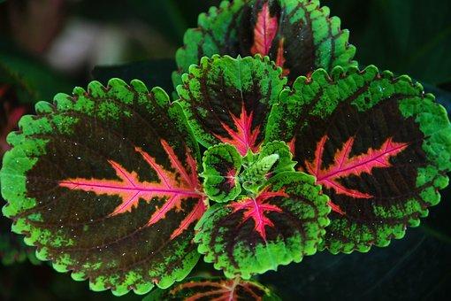 Zierbrennnessel, Colorful Nettle