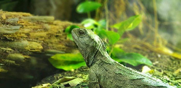Lizard, Zoo, Tuatara, Reptile, Animal, Iguana, Green
