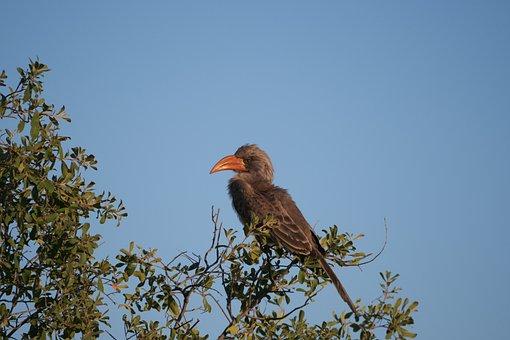 Toko, Bird, Botswana, Africa, Hornbill, Safari