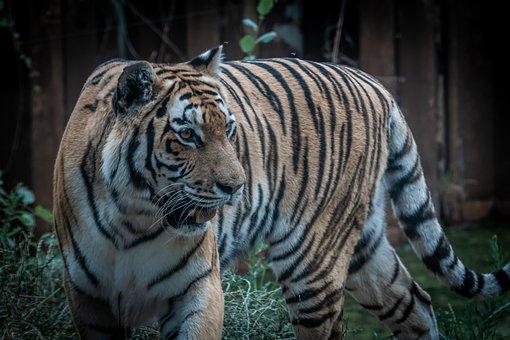 Tiger, Predator, Animal, Cat, Wildcat, Zoo, Big Cat
