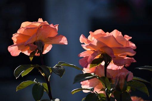 Orange Roses, Blooming, Blossom, Flowers, Backlight