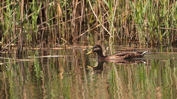 Duck, Lake, Water, Bird, Nature, Water Bird, Poultry