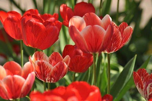 Tulips, Flowers, Spring, Red, Garden, Tulip, Bloom